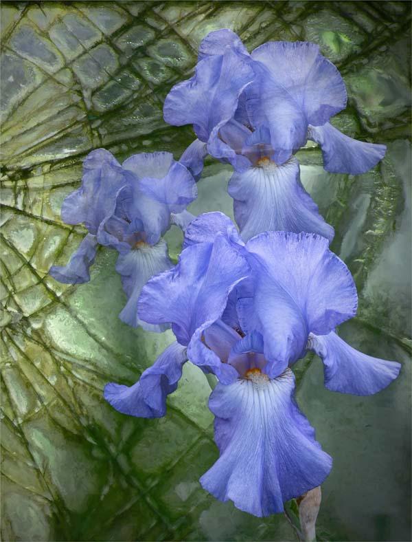 Carole Lane: Iris Redemptive